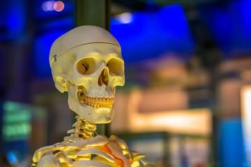 Medical human skeleton model