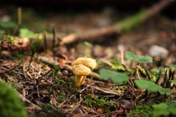 Zwei kleine Pfifferlinge im Wald, Pilze suchen und finden