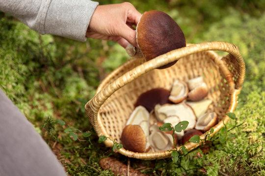 Frau legt großen Steinpilz in den Korb, Pilze suchen im Wald