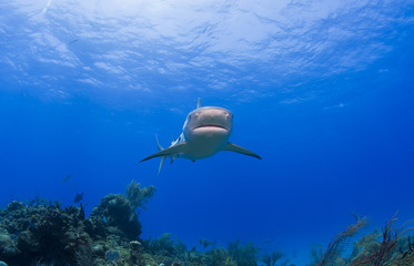 Caribbean reef shark from the front in clear blue water above a reef