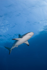 Caribbean reef shark from below in clear blue water with the sun in the background