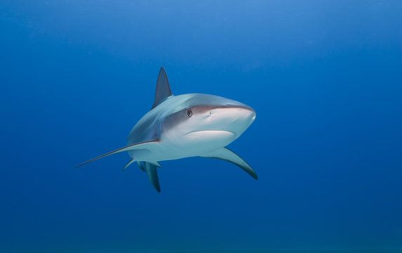 Caribbean reef shark from the front in clear blue water