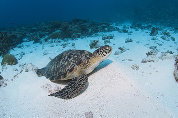 Green Turtle on the sand in clear blue water