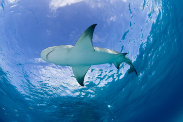 Lemon shark close to the surface in clear blue water with sun in the background