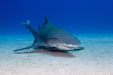 Lemon shark with remoras close to the sand in clear blue water