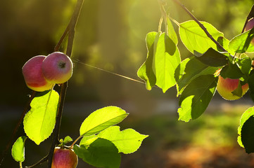 Ripe apples in the light of a tree on the branches of a tree in the garden.
