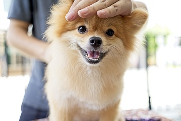 Male groomer haircut Pomeranian dog on the table of outdoor. process of final shearing of a dog's hair with scissors. salon for dogs.
