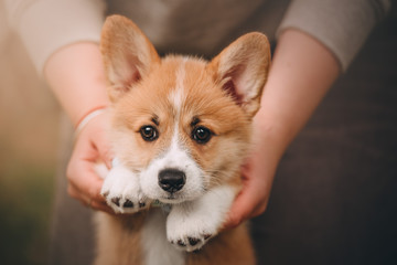 Funny Welsh Corgi Cardigan Puppy at forest