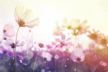 Fototapete - Cosmos flower with bokeh at sunrise morning.