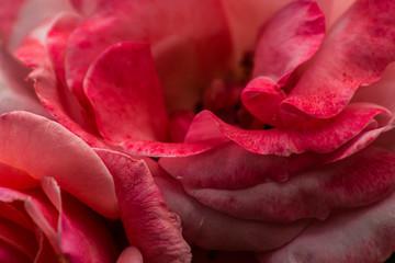 Rose petals, close up, macro