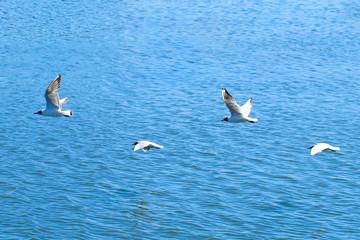 Black-headed gulls (Larus ridibundus) flying over water surface.