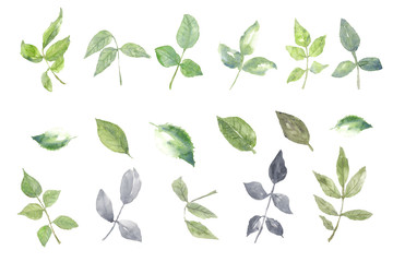 Set of rose leaves on white background, watercolor illustrator, hand painted