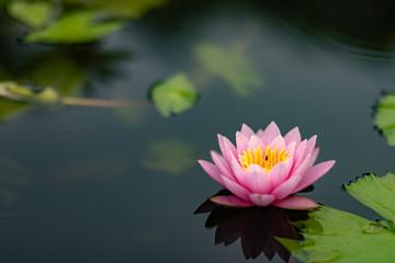 lotus flower water nature pond beautiful garden blossom