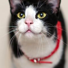 Cute tuxedo cat's wiskers