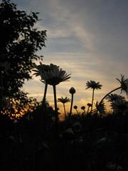 chamomiles at sunset