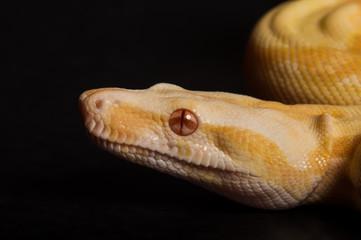Albino Boa Portrait