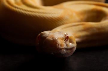 Albino boa preparing to strike