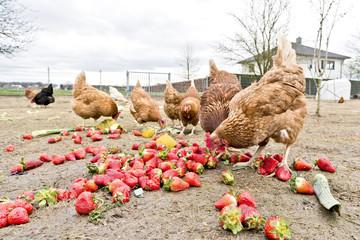 Hühner auf dem Bio Hühnerhof