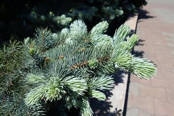 Colorado spruce fresh foliage in mid spring