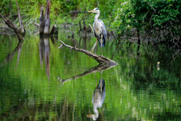 Blue heron in its natural environment, Danubian wetland, Slovakia, Europe