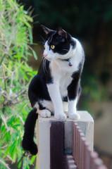 Cute tuxedo cat marlyanka is sitting outside