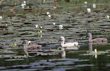 three baby swans, white and gray