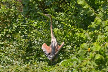 Airone rosso con le ali aperte che prende il sole nel bosco