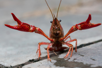 Closeup of river crayfish in nature