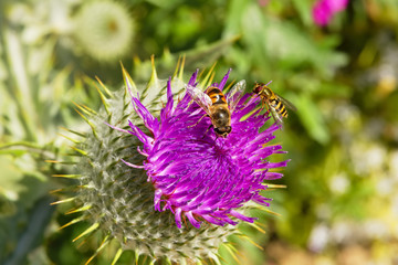 Two Hoverflies collecting pollen on a Purple Bull Thistle