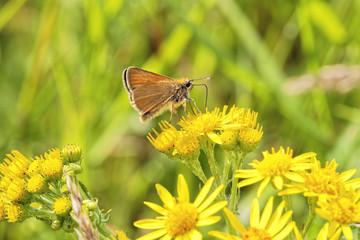 Small Skipper buttefly on Groundsell flower