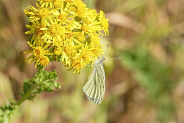 Close up of a Cabbage White butterfly on a Groundsell flower