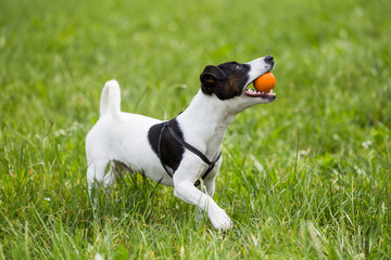 Cute dog Jack Russell Terrier enjoys playing with a ball in the nature.