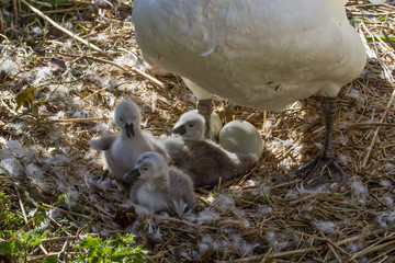 photo of young Mute swan signets in their nest