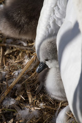 photo of a Mute swan signet under it's mothers wing