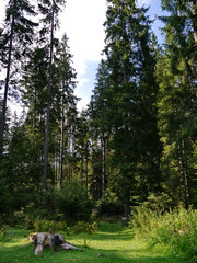A cozy forest glade with a huge stump and tall coniferous trees in the distance. A place for family rest