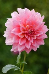 Cadres-photo bureau Dahlia A lush massive pink flower in a lot of petals on a high green stalk
