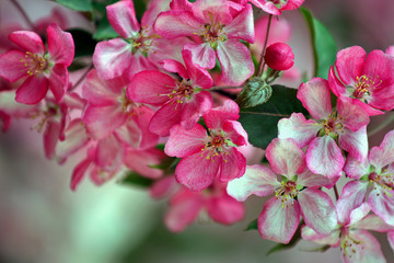 The apple tree bloomed brightly in pink. Soon these flowers will turn into scarlet apples