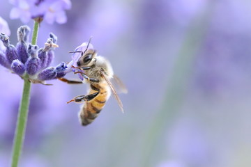 Photo sur Aluminium Bee Bee collecting pollen from a lavender