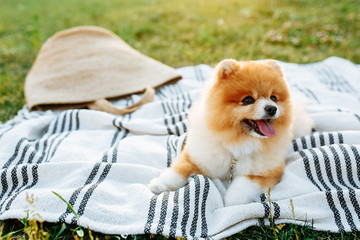 Happy spitz puppy sitting on a blanket. Space for text