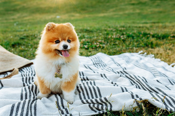 Spitz is sitting on a striped blanket.