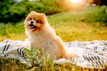 Happy spitz puppy sitting on summer grass. Space for text