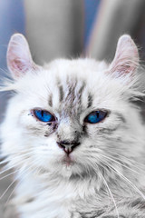 Close-up cat breeds that look like tigers Cat,Beautiful cat in cat farm , with blue eyes