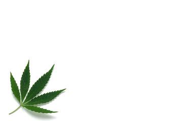 Hemp leaf on white background.Medicinal plant, drug.