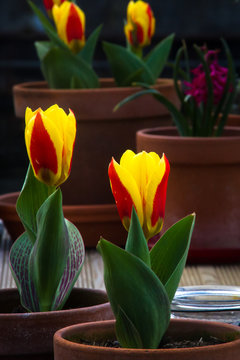 Bright red and yellow tulips growing in terracotta pots on a narrow barge