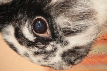 Auge vom Hasen ganz nah