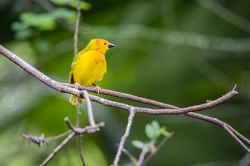 Little Yellow Bird [DSC_3319]