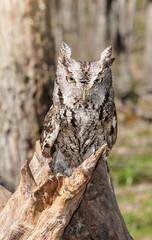 Screech Owls Looking Head On