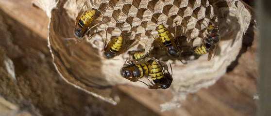 A nest of a paper wasp. Useful predatory garden insect, which destroys pests
