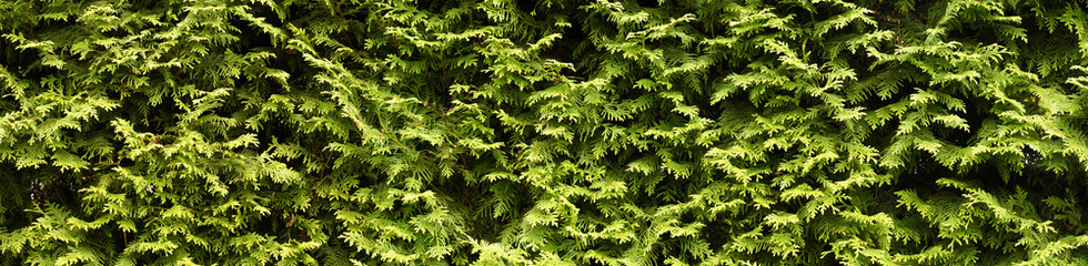 A wall of green, hedge with thuja. Wall mural