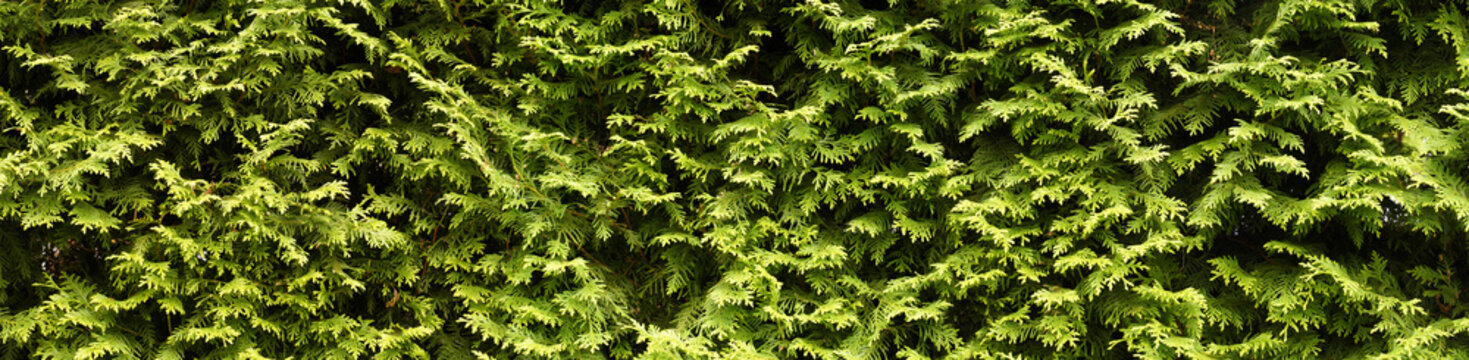 A wall of green, hedge with thuja.